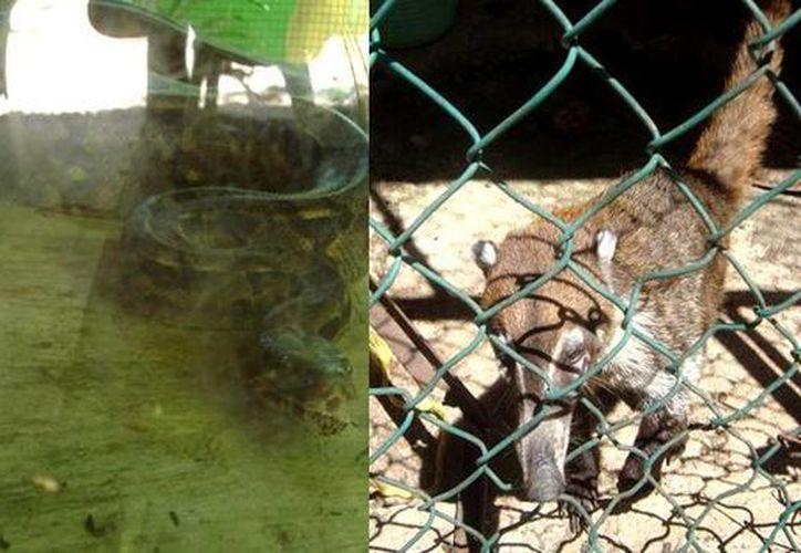 una Boa constrictor, un Cocodrilo moreletii, así como un Tejón fueron asegurados porque no se contar con documentos de posesión legal. (Cortesía/Profepa)