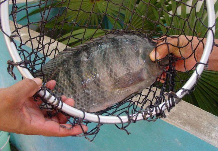 Describen las formas de pesca responsable en cuerpos de agua dulceacuícolas. (Tomás Álvarez/SIPSE)
