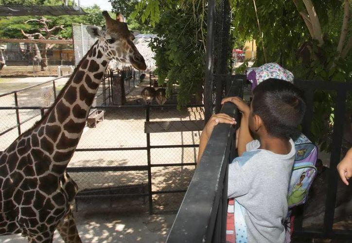 Los visitantes pueden dar de comer a las jirafas hojas o frutas proporcionadas por el zoológico de Mérida. (SIPSE)