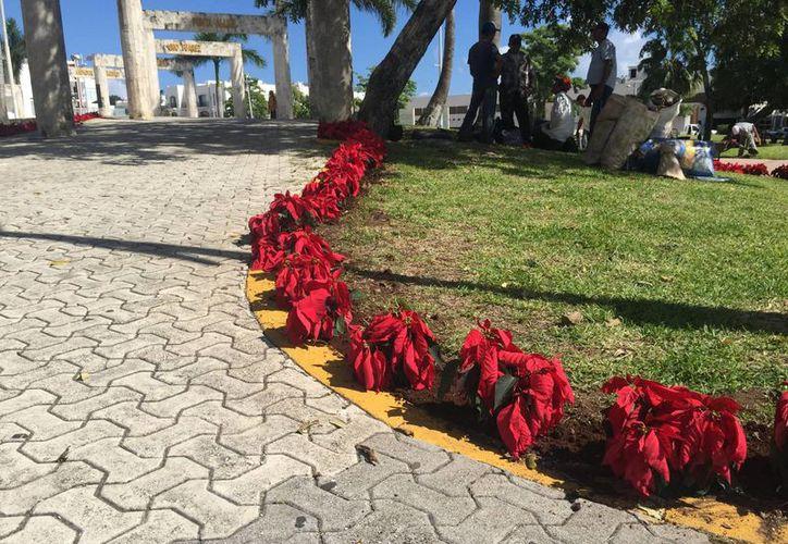Cinco mil plantas de nochebuena fueron sembradas en sitios públicos de Playa del Carmen. (Luis Ballesteros/SIPSE)