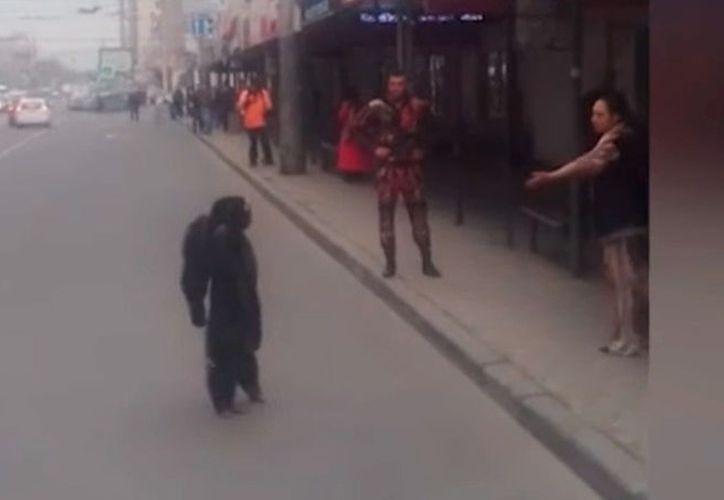 Un chimpancé llamado Richard se da tranquilamente un paseo. (Captura pantalla)