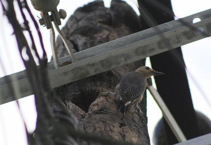 El pájaro carpintero forma parte de las especies que han sufrido está urbanización. (Sergio Orozco/SIPSE)