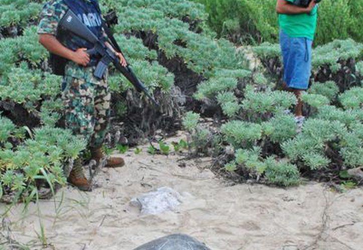 El programa de cuidado a la tortuga marina de la Fundación de Parques y Museos de Cozumel compite por premio nacional. (Gustavo Villegas/SIPSE)