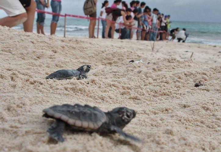 Este año arribaron menos tortugas marinas para anidar en la Isla de las Golondrinas. (Gustavo Villegas/SIPSE)