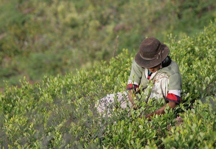 Entre las sustancias controladas tipo 1 y 2 ―que son las que la ley prohíbe― figura la hoja de coca, que se consume en Bolivia, Perú, Ecuador y Colombia. (Archivo/Agencias)