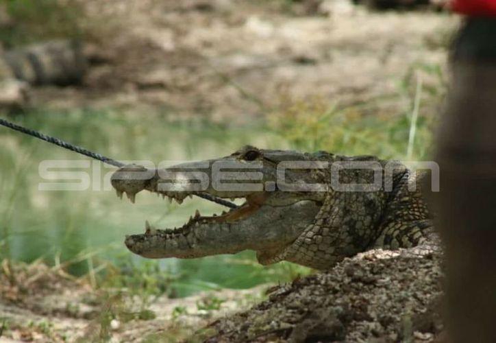 En Progreso, Celestún y Sisal se ha avistado con frecuencia cocodrilos. (Milenio Novedades)