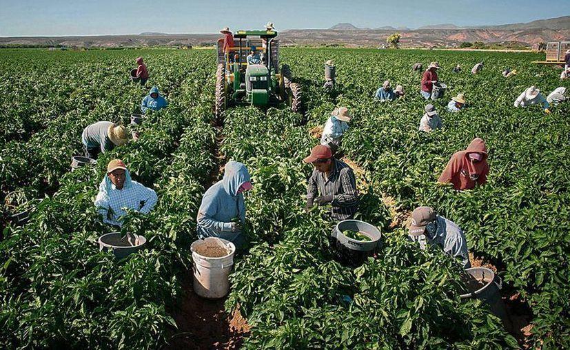 Fotografía del sábado 25 de julio de 2015, que muestra a trabajadores cosechando chile en la granja Adams Produce, cerca de Hatch, Nuevo México, EU. (Jett Loe/Las Cruces Sun-News vía AP)