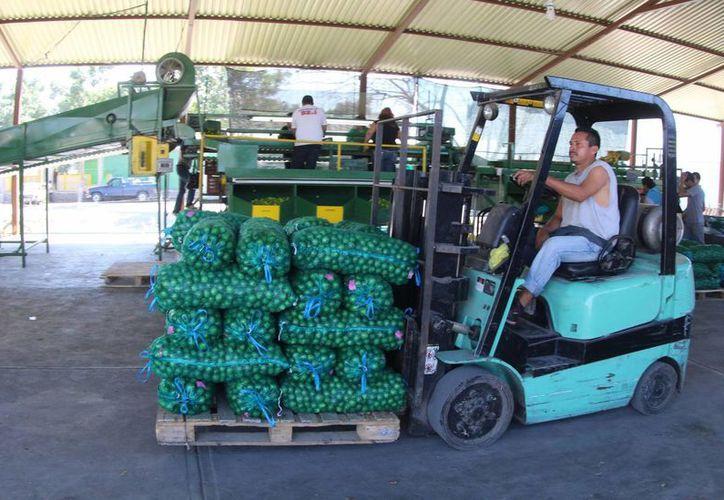 México es el tercer productor de limón persa en el mundo, indicó la Confederación Nacional Campesina. (Archivo/Notimex)