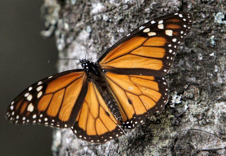 Las mariposas de la especie Monarca llegan al Santuario natural de El Rosario, cerca de Angangueo, Michoacán. (Agencias)