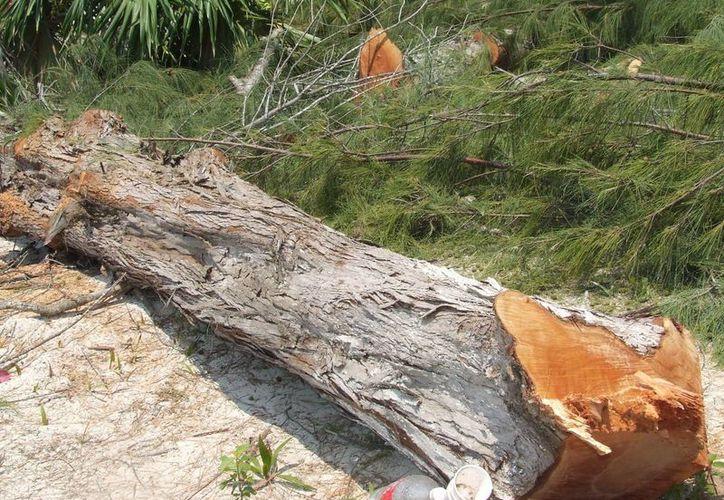 La tala inmoderada acelera los efectos del cambio climático. (Israel Leal/SIPSE)