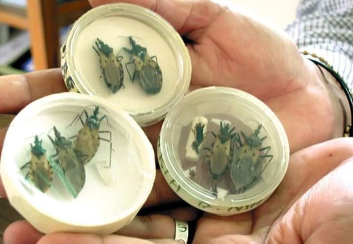 """El vector (transmisor) del mal de Chagas es un insecto conocido popularmente como """"pic"""". (Milenio Novedades)"""