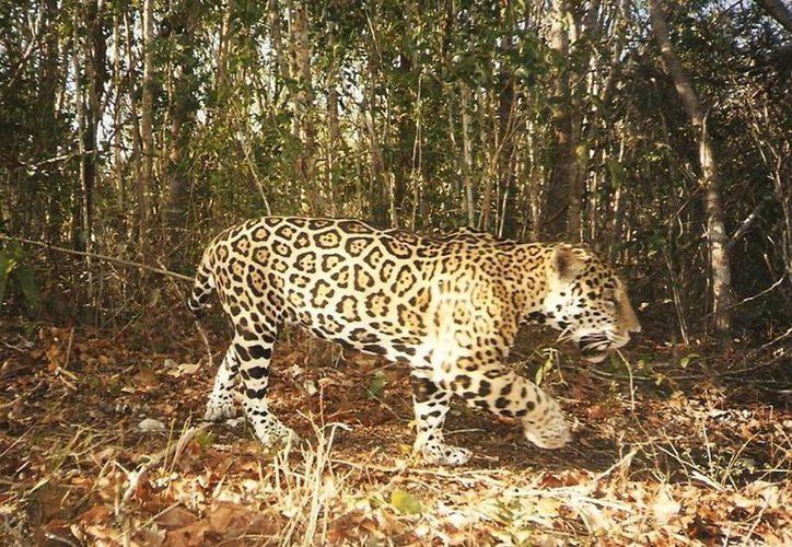 Pronatura PPY informó que desde el inicio del programa registraron cuatro ejemplares de jaguar, que ya habían documentado con antelación. (pronatura-ppy.org.mx)