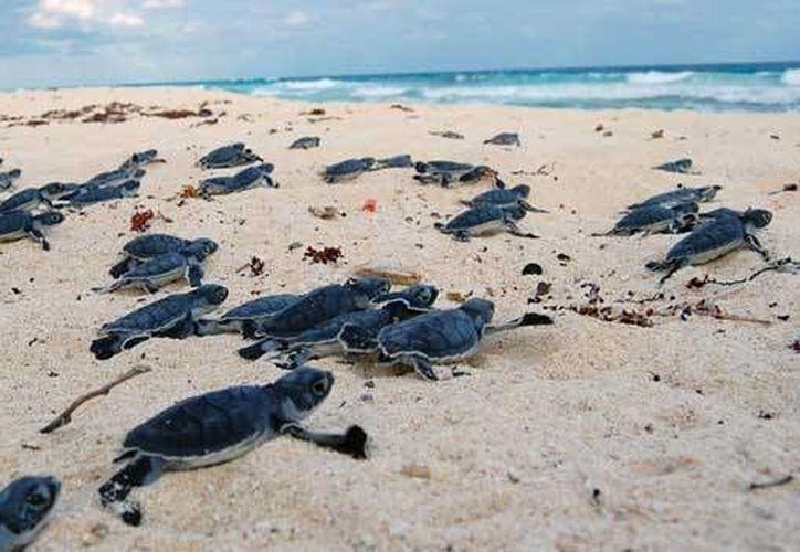 Después del proceso de incubación, se efectuó el de eclosión de la especie, por lo que se liberaron 165 mil 198 crías. (Foto/Internet)