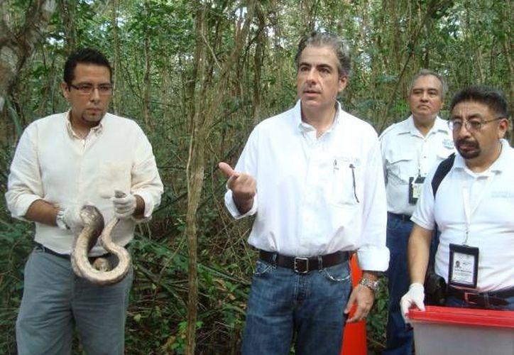 En Punta Laguna, el delegado de Profepa, José Lafontaine Hamui, liberó tres ejemplares de la especie boa constrictor. (Cortesía)