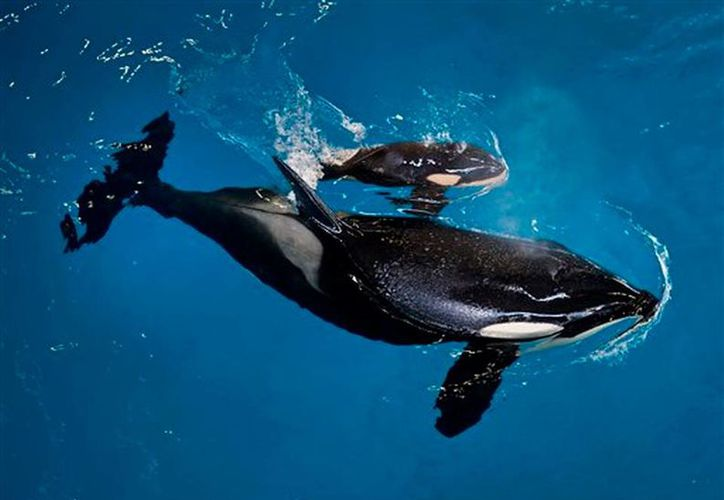 """l nacimiento fue uno de esos """"momentos extraordinarios"""", dijo a The Associated Press por teléfono el responsable zoológico de SeaWorld, Chris Dold. (El Heraldo)"""
