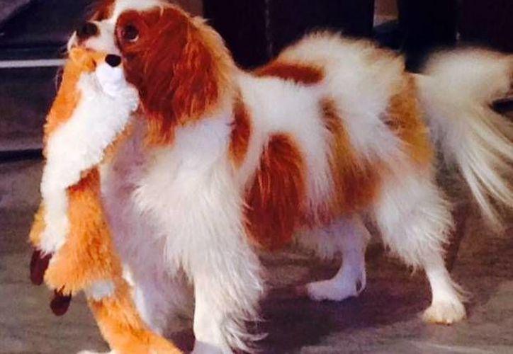 Foto de Twitter de 'Bentley',  proporcionada por  los Servicios para Animales de la Ciudad de Dallas. Texas, este 22 de octubre de 2014. El perro de la enfermera Nah Pham dio negativo a ébola.