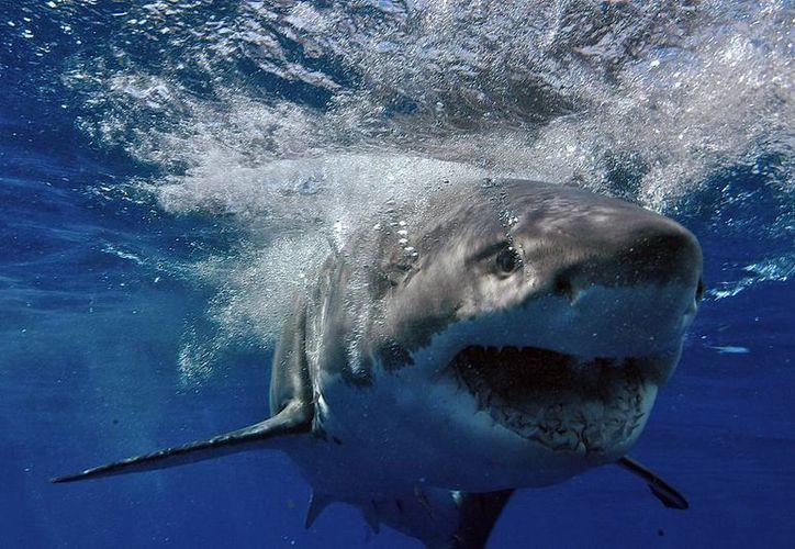 Florida registró este año el mayor número de ataques no provocados de tiburón. La imagen es únicamente para fines ilustrativos, no corresponde a la nota. (Archivo/Agencias)