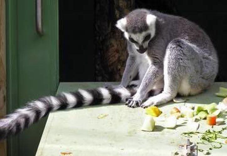 Un lémur, estuvo entre los cuatro animales que fueron asegurados por la Profepa en mayo. (Contexto/Internet)