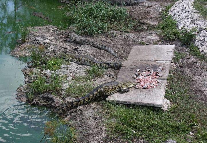 Funcionarios informan a la gente que se reporte la existencia de cocodrinos en zonas urbanas. (Archivo SIPSE)