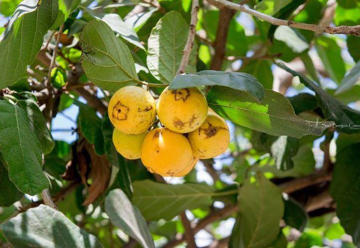 El ciricote es un fruto nativo de la región. (Imagen autoría de Saúl Burgos/ flickriver.com)