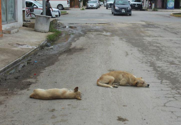 Tratan de evitar la proliferación de animales en las calles. (Sara Cauich/SIPSE)