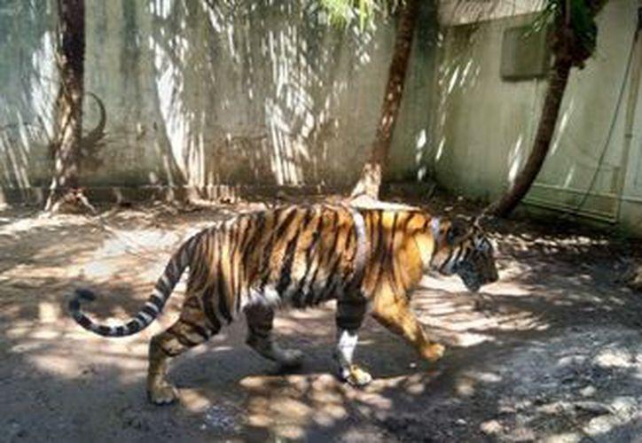 El tigre se encontraba amarrado con una cadena en el patio de la vivienda. Foto: Redacción