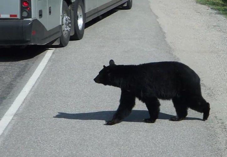 El oso también perdió la vida a causa del accidente. (Foto: Contexto/Internet)