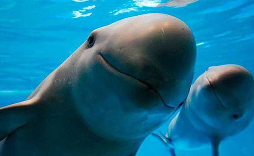 En diciembre, México será sede de la cumbre por la diversidad biológica COP 13 y llegará con la inminente extinción de la vaquita marina sobre los hombros. (proyectopuente.com.mx)