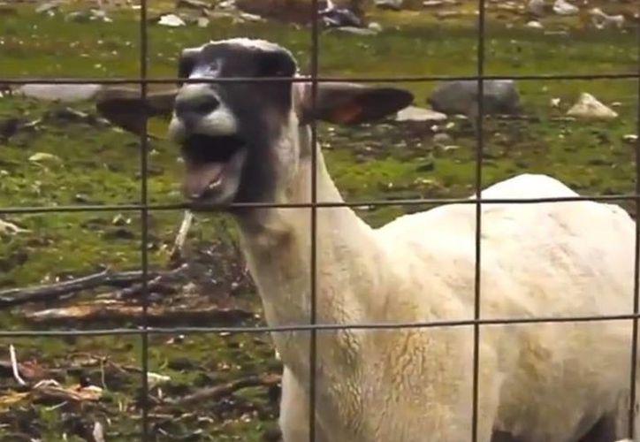 Editar el video musical de un artista mezclando a una cabra gritona está de moda. (Foto: Internet)
