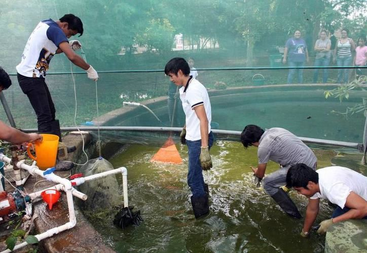 La producción anual de tilapia es de alrededor de cinco mil toneladas. (SIPSE)