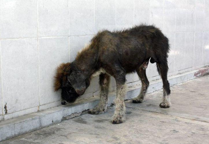 La intención del proyecto es establecer diversos métodos y acciones dependiendo del grado de maltrato animal. (Tomás Álvarez/SIPSE)