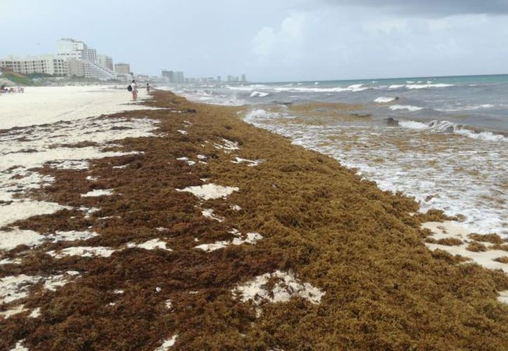 Las playas del Caribe mexicano podrían cambiar a color marrón si sigue aumentando la llegada del sargazo. (Israel Leal)