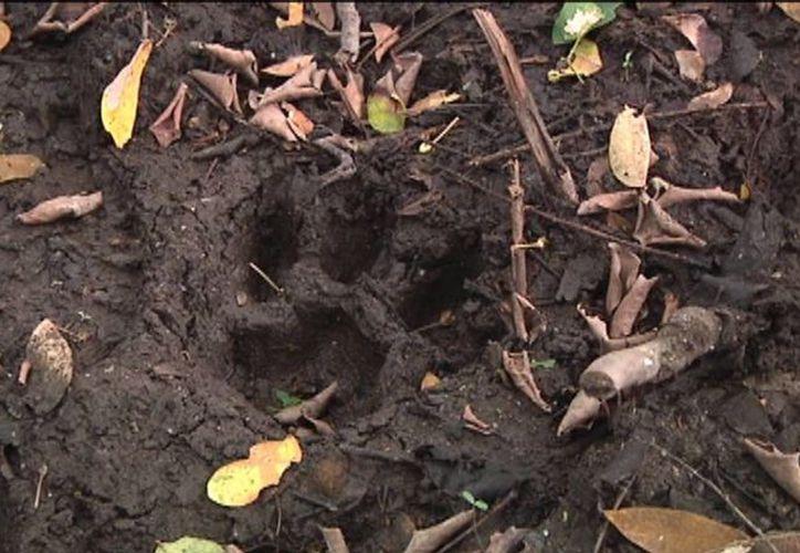 Las autoridades ambientales lograron confirmar gracias a un video que el tigre de Bengala 'Ankor' está vivo. (Notimex)