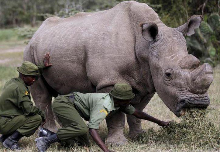 'Sudán', un rinoceronte blanco del norte, busca novia en Tinder. (Exélsior)
