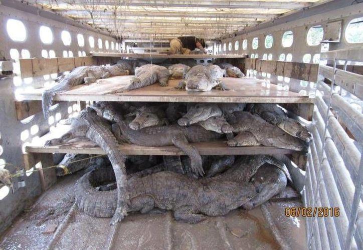 Al momento de la inspección los cocodrilos presentaban heridas o lesiones en el cráneo o patas. (Cortesía/Profepa)