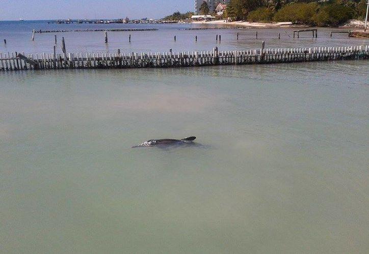 El cetáceo estuvo bajo monitoreo médico veterinario en Isla Mujeres. (Archivo/SIPSE)