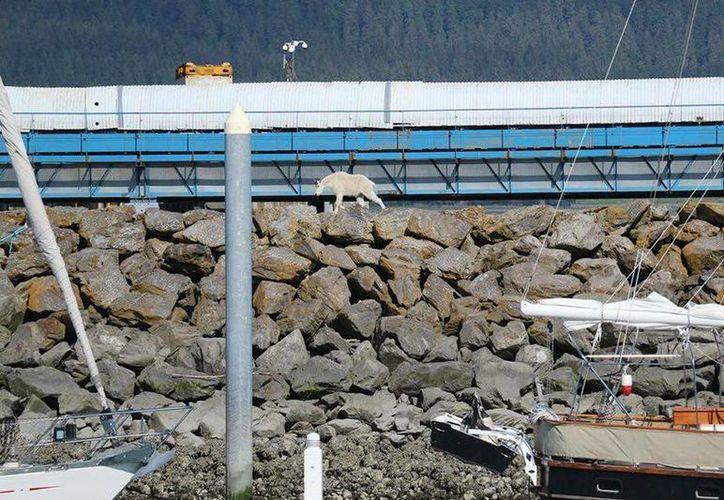 Imagen tomada el sábado 16 de julio, en la que puede verse a una cabra mientras camina sobre rocas, en Seward, Alaska. El animal se lanzó al mar, luego de que era 'perseguido' por gente que quería tomarle fotos. (AP)
