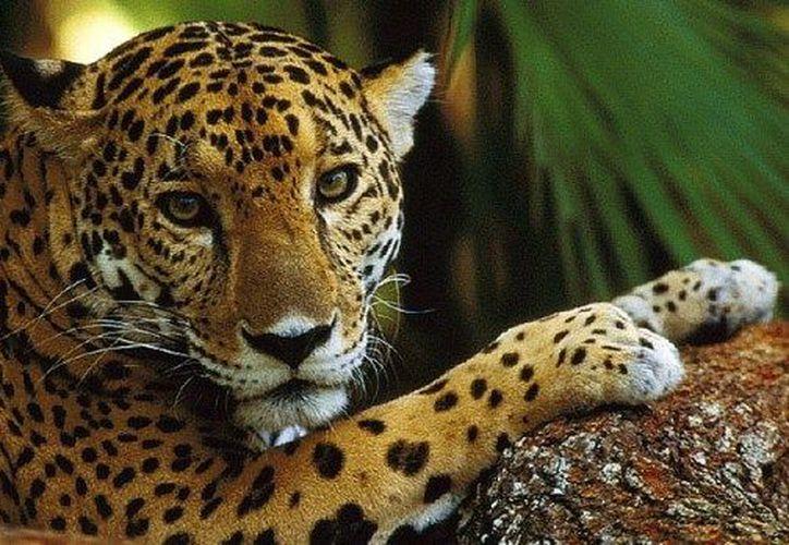 El jaguar o panthera onca es el felino más grande en el Hemisferio Occidental. (Redacción)
