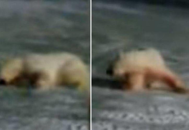 No está claro cuándo se grabó este vídeo ni que ocurrió finalmente con el oso. (Captura de pantalla de YouTube)