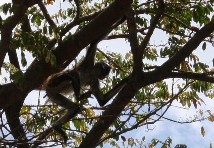 Bomberos intentaron capturar a un mono araña que se paseaba por Playa del Carmen. (Octavio Martínez/SIPSE)