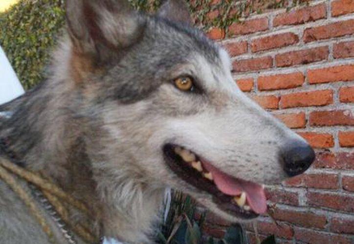 Elementos de Protección Civil de Cuernavaca capturaron al ejemplar de lobo mexicano. Se anunció que el animal seria entregado a la Profepa. (@CuernavacaGob)