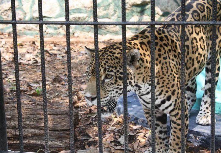 La vida de los animales corre detrás de barras de metal, redes, cristales y cercas; el instinto los ayuda a sobrevivir. (Harold Alcocer/SIPSE