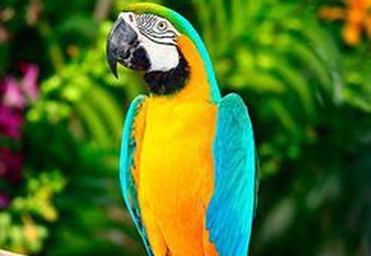 Aves como la de la imagen, guacamayas azul y oro (Ara ararauna), decomisó la Policía Federal a tripulantes de una camioneta, en Nuevo León.(commons.wikimedia.org/Benjamint444)