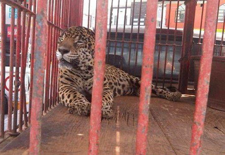 Entre los ejemplares asegurados hay siete tigres. (SIPSE/Foto de contexto)