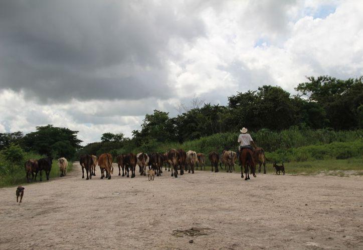 Los productores requieren de melaza, sales minerales, vitaminas y pacas para alimentar al ganado, antes de que empiece a perder peso. (Carlos Castillo/SIPSE)