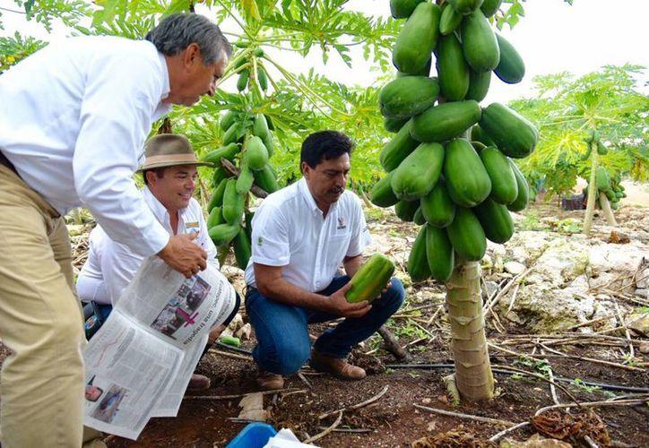 El Secretario de Desarrollo Rural, Juan José Canul Pérez, estuvo este viernes en Temozón para presidir el primer corte de la nueva cosecha de papaya maradol, fruta cuya venta tiene éxito en el extranjero. (Foto cortesía del Gobierno de Yucatán)