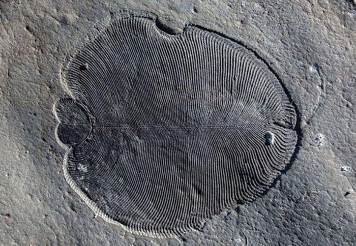 El fósil llamado Dickinsonia es el animal más antiguo que haya habitado nuestro planeta. (Muy Interesante)