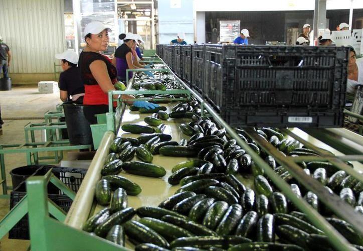 Hay demanda internacional por las cosechas de calabaza y pepino del Estado. (Foto: Milenio Novedades)