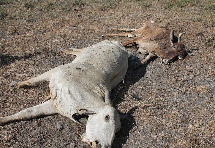 Más de 600 animales han muerto debido a la falta de alimentación en los campos de Quintana Roo.  (Juan Rodríguez/SIPSE)