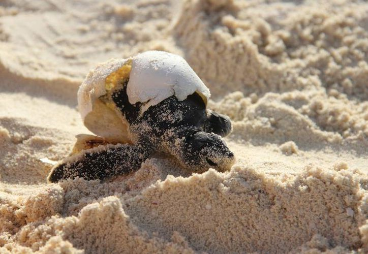 Las áreas de anidación de tortugas se duplicó en Cozumel. (Redacción/SIPSE)